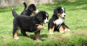 Finding the Best Bernese Mountain Dog Breeder in New York