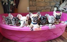 Jessicah's Frenchies