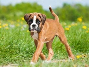 Boxer Puppies For Sale in Colorado