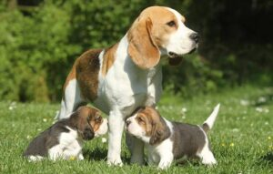 Creekside Beagles