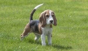 Alpenglow Beagles in Colorado