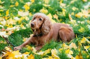 Learn More About The Cocker Spaniel