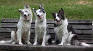 Border Collie Puppies For Sale in Colorado