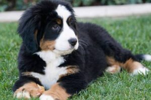 Here's What You Need to Know About The Bernese Mountain Dog