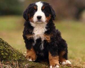 PuppySpot Bernese Mountain Dogs for Florida