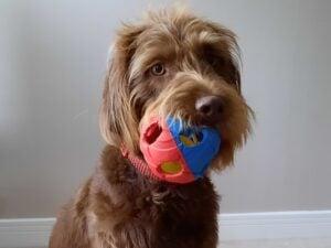 labradoodle puppies for sale south dakota