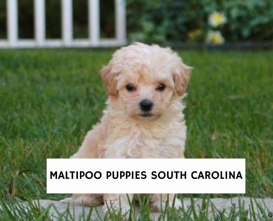 Maltipoo Breeders in South Carolina