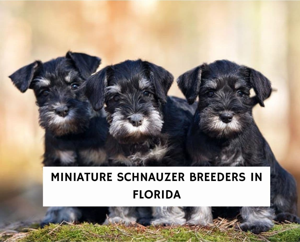 Miniature Schnauzer Breeders in Florida