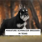 Miniature Schnauzer Breeders in Texas