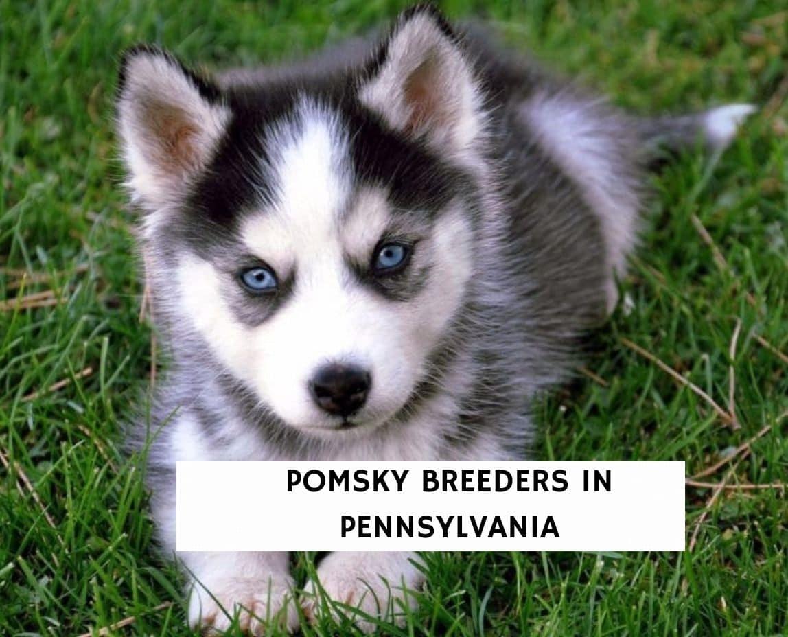 Pomsky Breeders in Pennsylvania