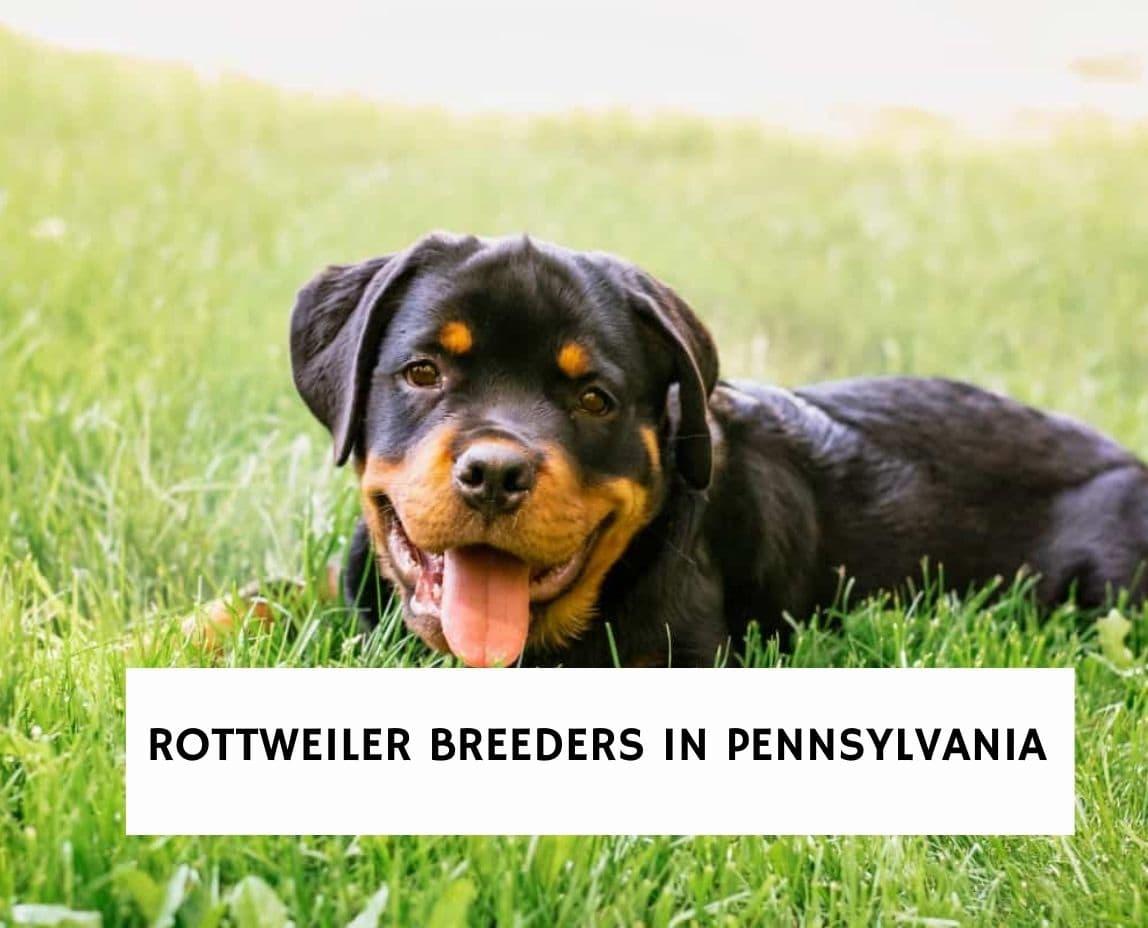 Rottweiler Breeders in Pennsylvania
