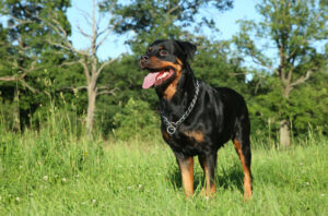 How to prevent Rottweilers from shedding so much?