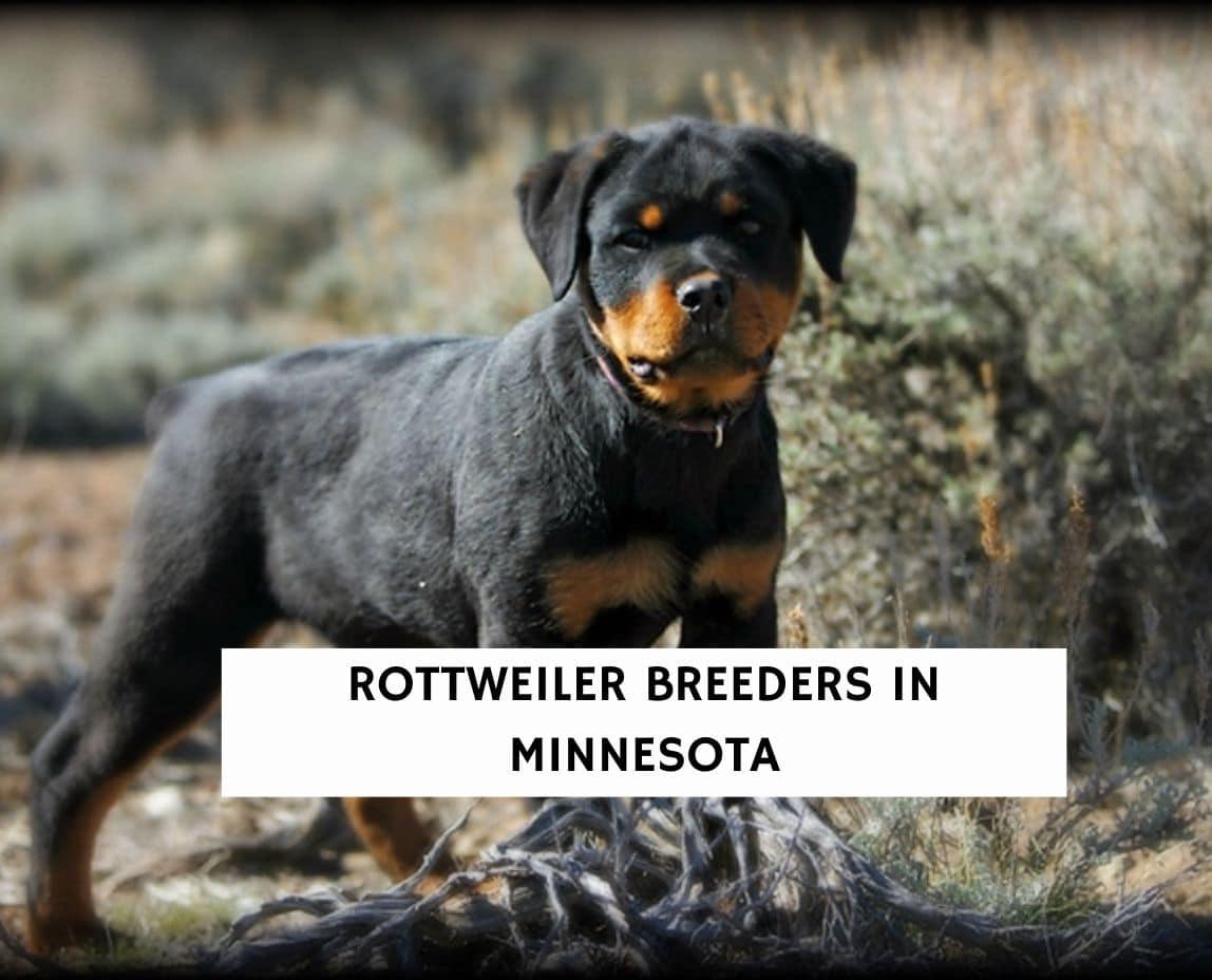 Rottweiler Breeders in Minnesota
